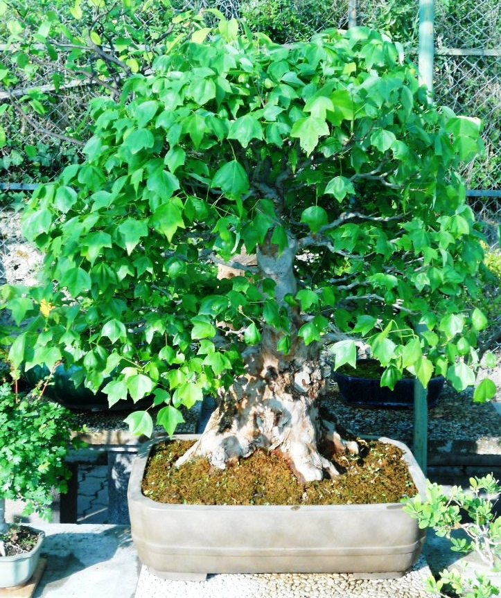 Centro bonsai di valter frediani a sanremo provincia di for Bonsai da esterno