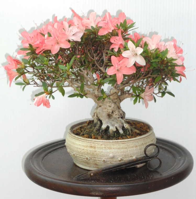 Pin azalea rhododendron bonsai da esterno on pinterest - Azalee da esterno ...