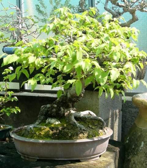 Bonsai da esterno bonsai caducifoglie for Bonsai da esterno