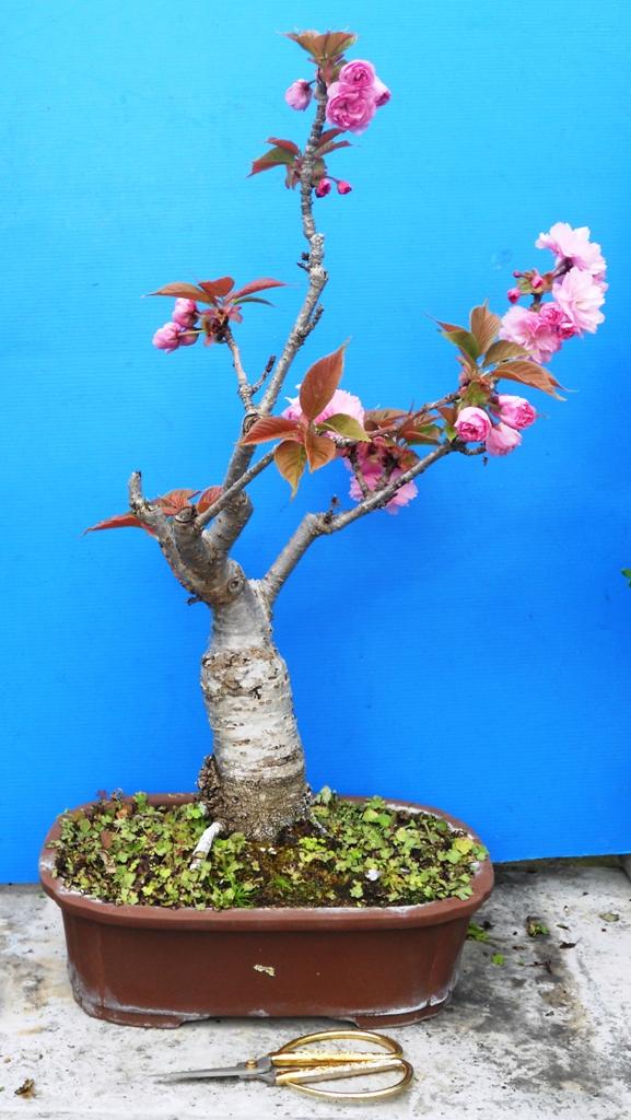 Galleria immagini bonsai aprile for Bonsai ciliegio