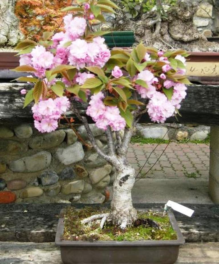 I bonsai di albero da frutto for Bonsai ciliegio