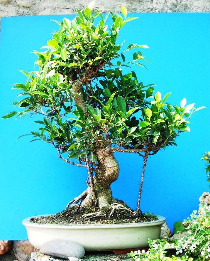 Cura e mantenimento del bonsai posizione annaffiatura for Ficus benjamin perde foglie