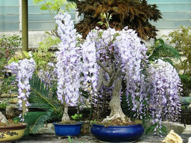 I bonsai da esterno con fiori e bacche for Glicine bonsai prezzo
