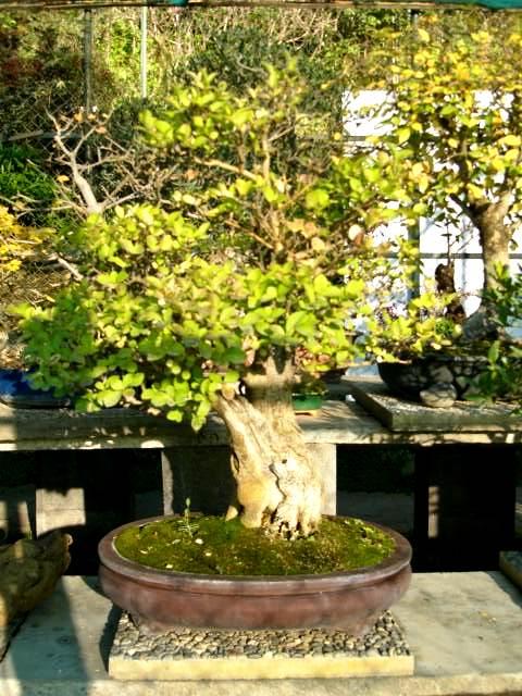I bonsai da esterno con fiori e bacche for Bonsai da esterno