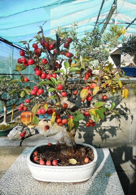 I bonsai di albero da frutto for Bonsai da frutto vendita