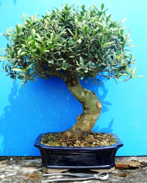 Come riprendere un bonsai secco bonsai pepe with come for Bonsai pepe
