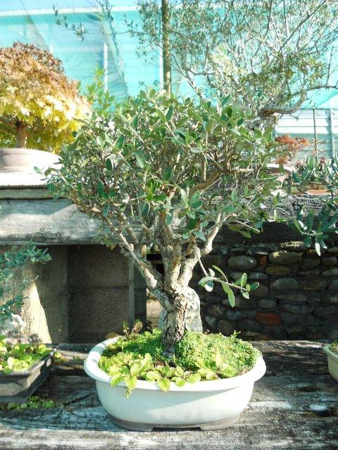 Bonsai di olivo for Bonsai limone vendita