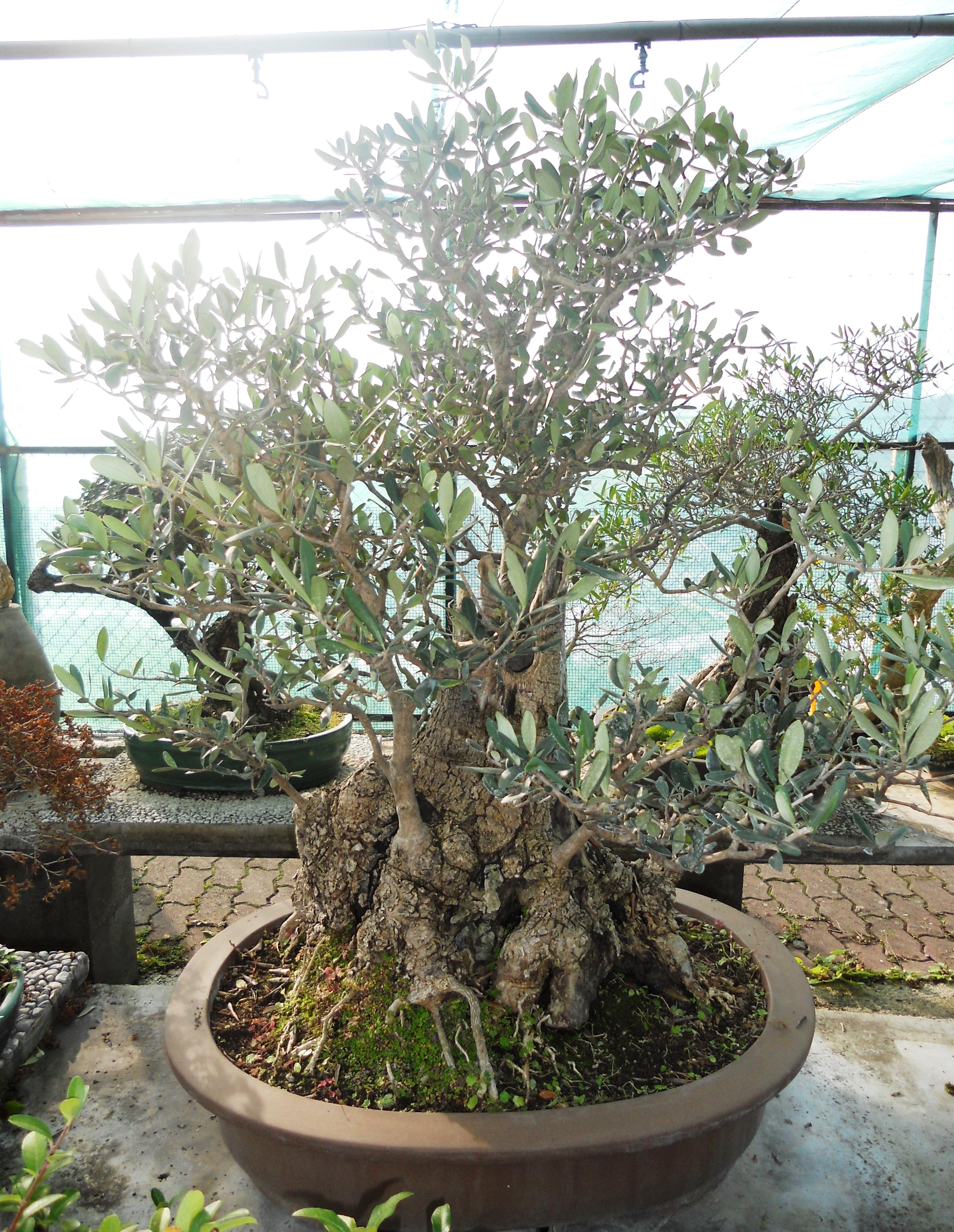 Cura e mantenimento del bonsai posizione annaffiatura for Bonsai olivo prezzi