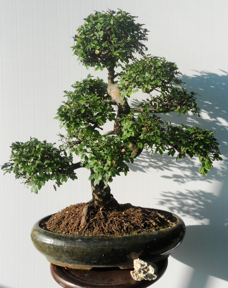 Bonsai da interno for Bonsai da esterno