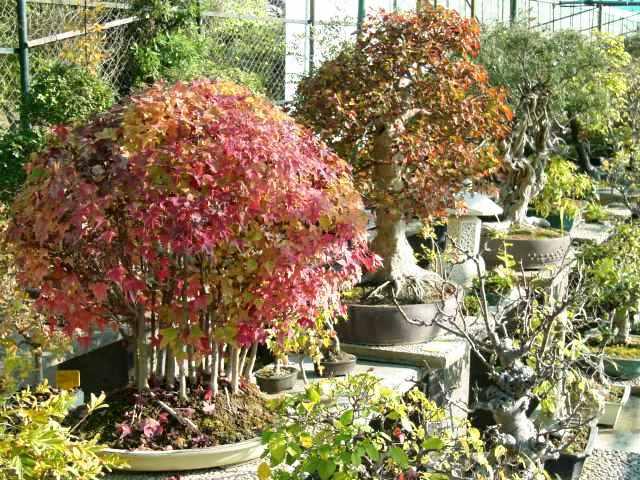 I bonsai da interno e i bonsai da esterno consigli per la - Azalea pianta da interno o esterno ...