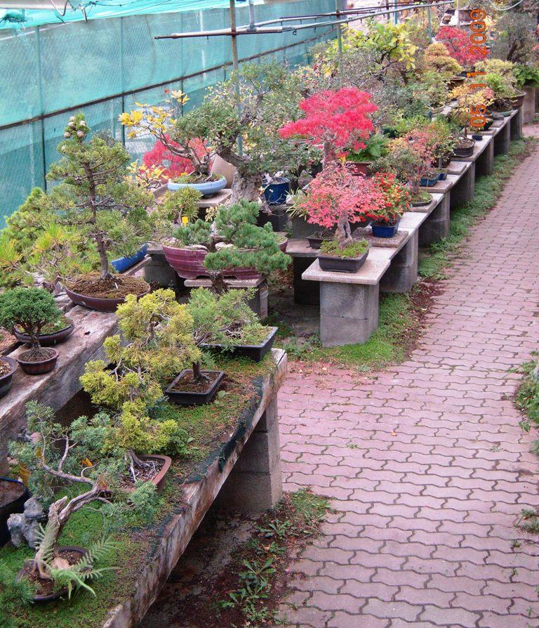 Centro bonsai di valter frediani a sanremo provincia di for Vasi bonsai giapponesi