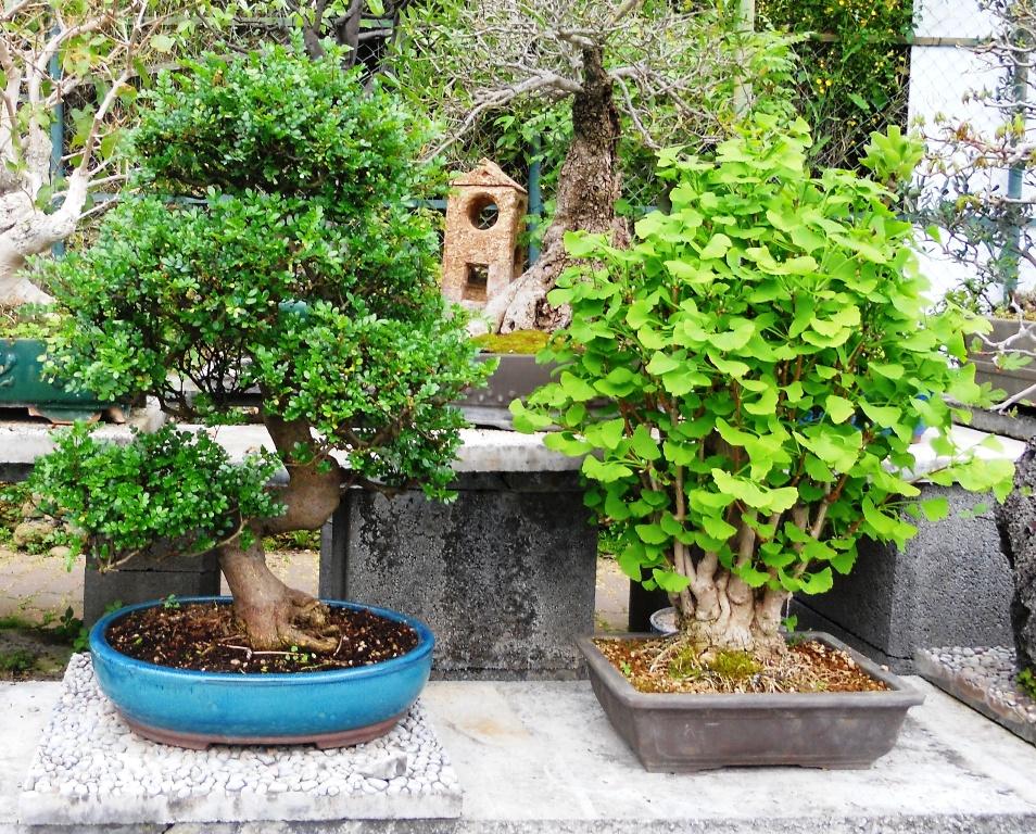 Cura e mantenimento del bonsai posizione annaffiatura for Bonsai pepe