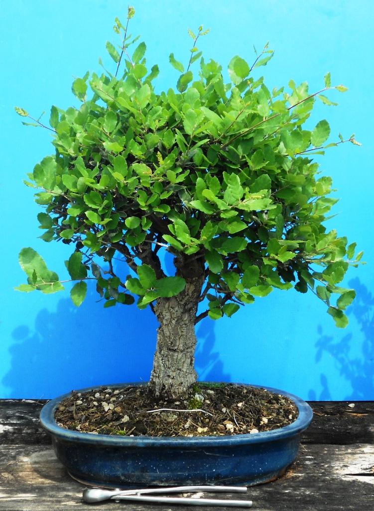 cura e mantenimento del bonsai posizione annaffiatura