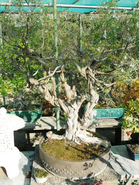 Bonsai da esterno bonsai della macchia mediterranea for Bonsai da esterno