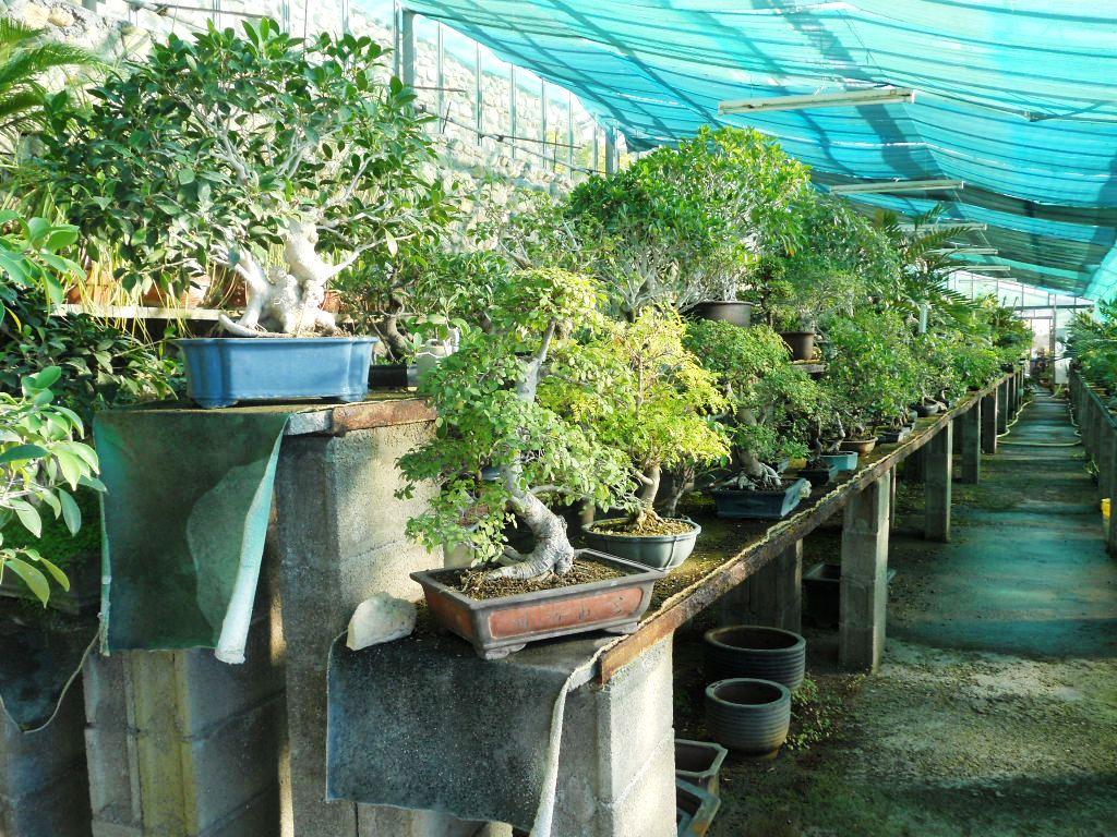 Centro bonsai di valter frediani a sanremo provincia di for Bonsai vendo