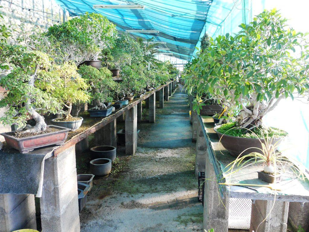 Centro bonsai di valter frediani a sanremo provincia di for Bonsai da frutto vendita